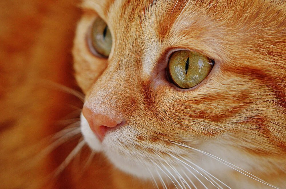 Ginger cat - 13 interesting cat facts and tips you need to know, weird truths, health facts #cats #catfacts #interesting