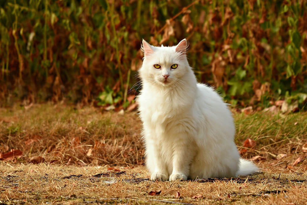 Pretty white fluffy cat - 13 interesting cat facts and tips you need to know, weird truths, health facts #cats #catfacts #interesting