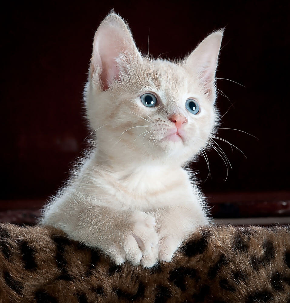 White kitten - 13 interesting cat facts and tips you need to know, weird truths, health facts #cats #catfacts #interesting