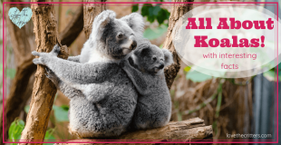 Learn all about koalas with interesting facts! Koalas are one of the cutest animals in the world. Koalas are marsupials from Australia. They are not bears, although they kind of look like them. #koalas #koala #koalabear #australia