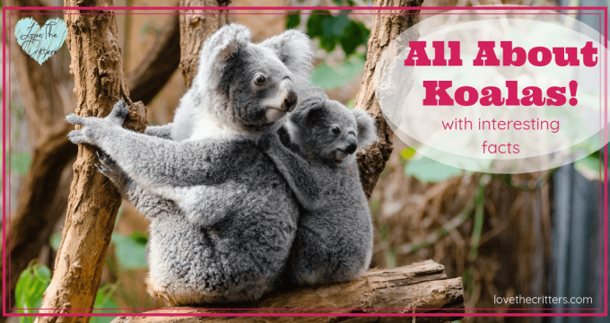 All About Koalas with Interesting Facts