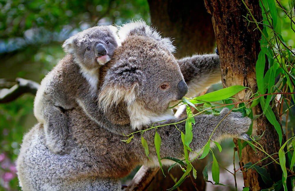 Koala mom and joey