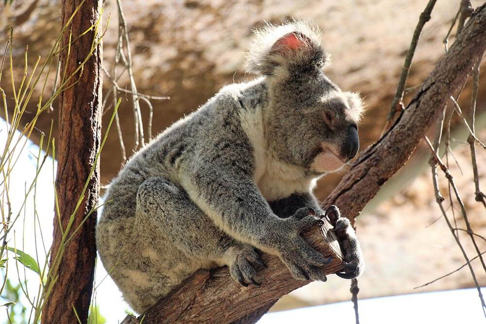 Koala's have sharp claws with 2 thumbs and 3 fingers