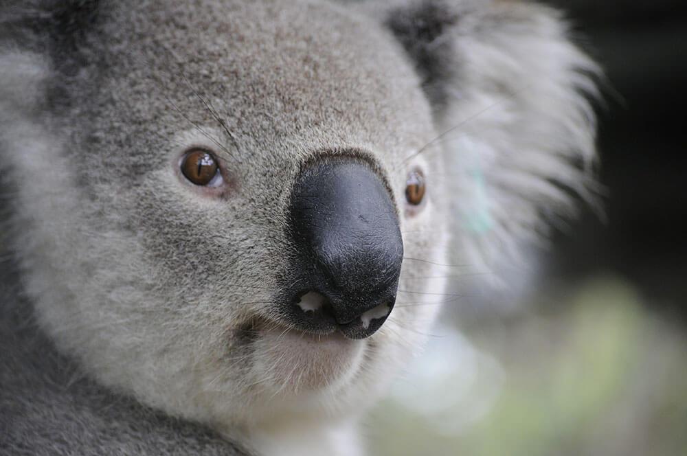 Close up of a koala