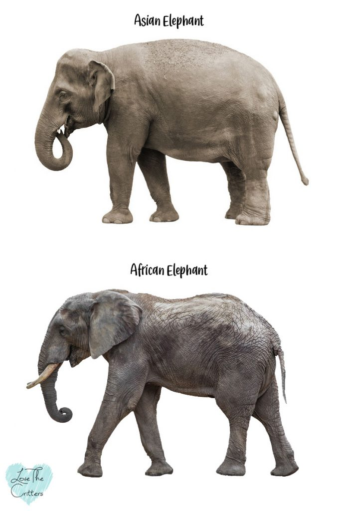 difference between elephant asian African