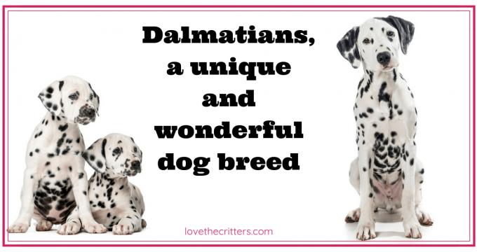 Dalmatians, a unique and wonderful dog breed
