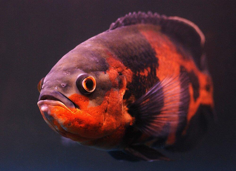My Oscar Fish