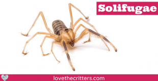 Solifugae aka Camel Spider, Wind Scorpion, Sun Spider