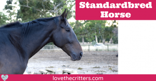 Standardbred Horse Breed