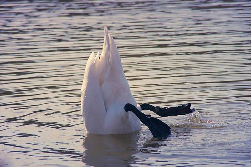 Swan Dabbling