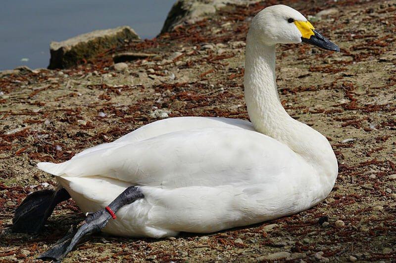 Tundra Swan