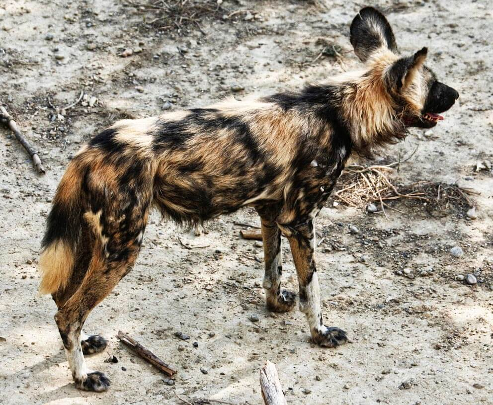 African Wild Dog coat